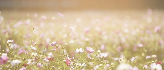 cosmos-flowers-1138041_1920